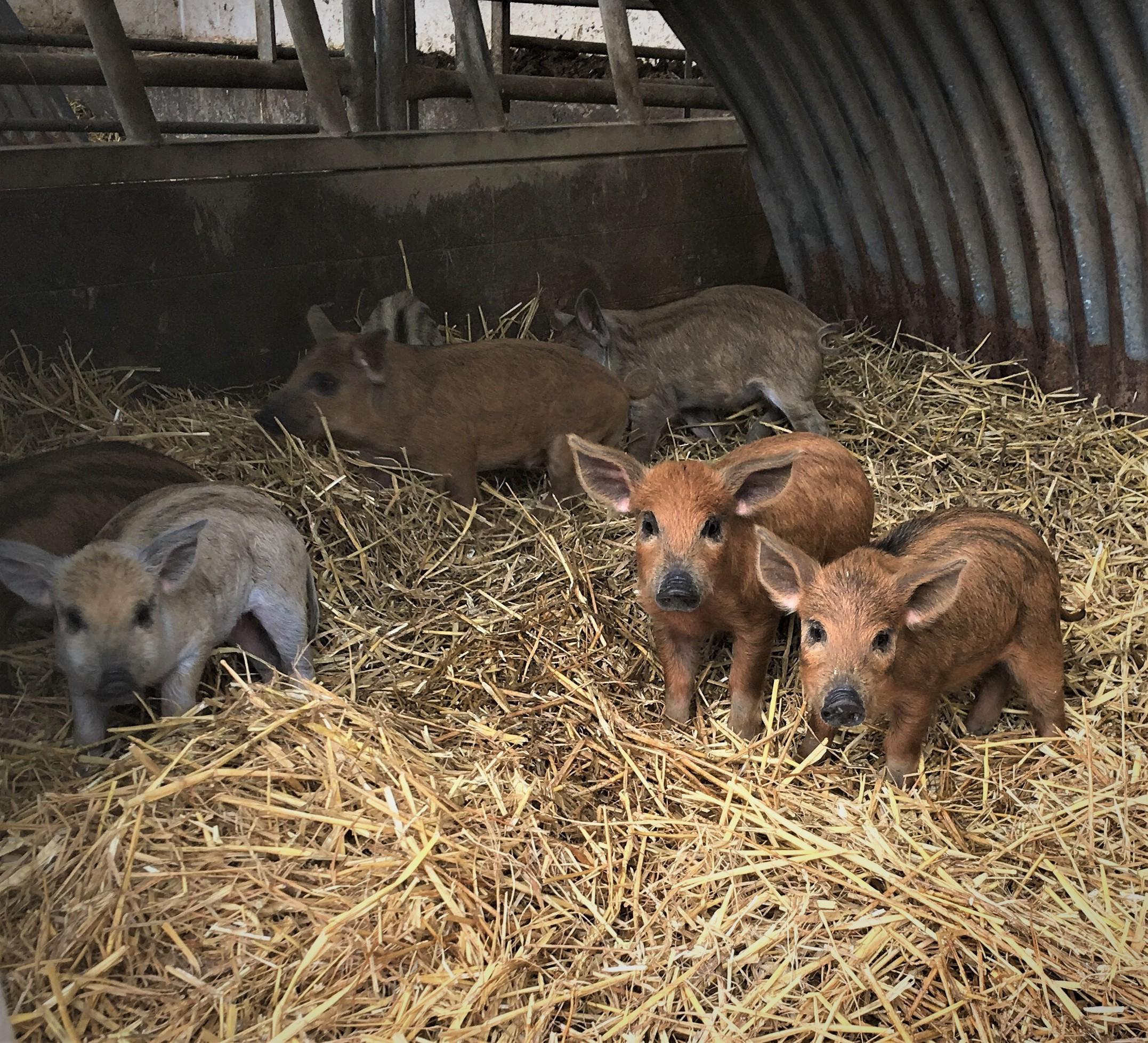 Mangalitza pigs to debut